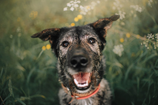 happy grey mixed breed dog portrait outdoors in summer