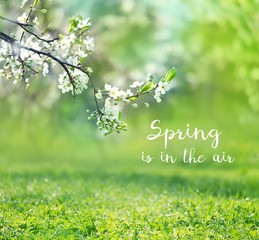 spring is in the air - text on spring background with white cherry blossoms tree and green grass. gentle spring sunshine nature landscape. spring season concept.