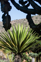 Agave im Botanischen Garten von GranCanaria.