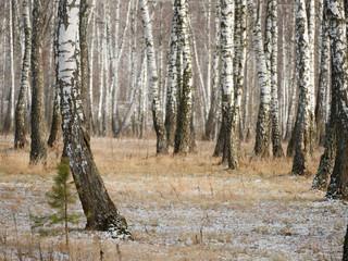 Photo sur Plexiglas Bosquet de bouleaux Panorama of a birch grove in winter. slender white trees