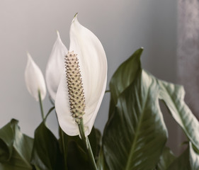 Indoor plants: white spatifilum flower among the leaves.