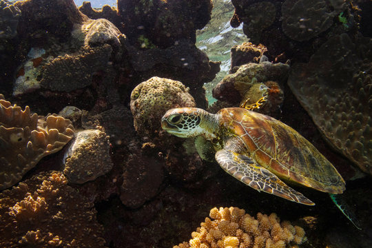 A green turtle swims through corals on the Great Barrier Reef off the coast of Cairns, Australia