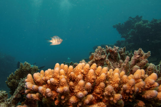 A sergeant major reef fish swims above a staghorn coral colony as it grows on the Great Barrier Reef off the coast of Cairns, Australia