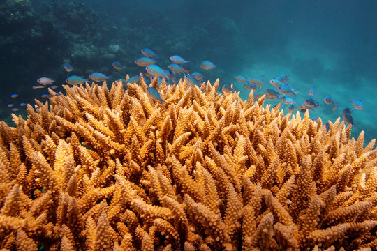 A school of fish swim above a staghorn (Acropora cervicornis) coral colony as it grows on the Great Barrier Reef off the coast of Cairns, Australia
