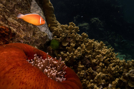 A pink anemonefish swims above a sea anemone in the Great Barrier Reef off the coast of Cairns, Australia