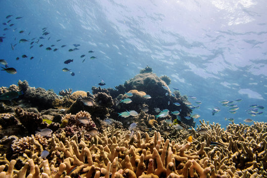 Assorted reef fish swim above a staghorn coral colony as it grows on the Great Barrier Reef off the coast of Cairns, Australia