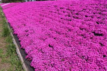 相模原市新戸の芝桜(神奈川県)