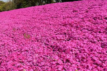 Poster Rose 相模原市新戸の芝桜(神奈川県)
