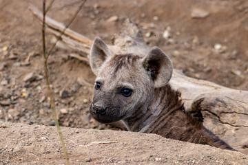 Fotobehang Hyena hyena in Africa