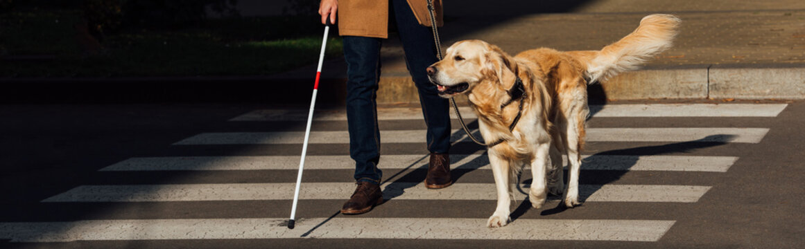 Cropped view of blind man with guide dog walking on crosswalk, panoramic shot