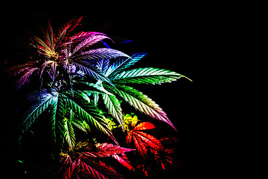 Cannabis plant with leaves rainbow color abstract image on a black background