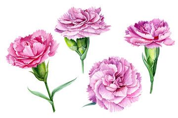 beautiful carnation flowers on an isolated white background, watercolor illustration