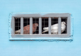 Pigeons sitting in captivity
