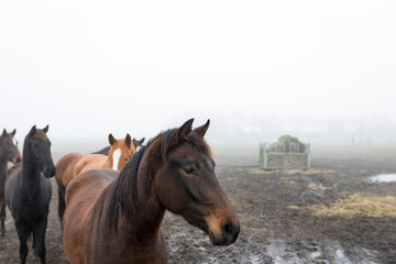 Keuken foto achterwand Chocoladebruin Brown horses in a meadow, Dutch landscape with mist in autumn