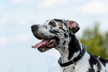 A Harlequin Great Dane profile against the sky