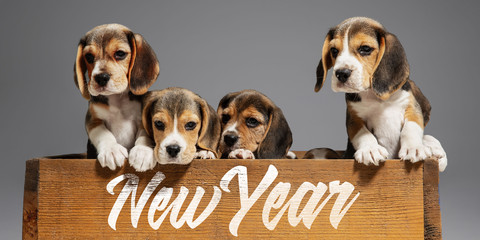 Wall Mural - New Year 2020. Beagle tricolor puppies are posing. Cute white-braun-black doggies or pets playing on grey background. Look attented and playful. Studio photoshot. Concept of motion, movement, action.