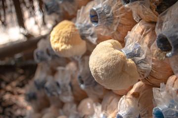 Fototapeta yamabushitake mushroom, lion's mane mushroom growing in mushroom farms in Thailand