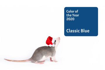 Gray rat in santa claus red hat looks at square frame with blue color of the year 2020