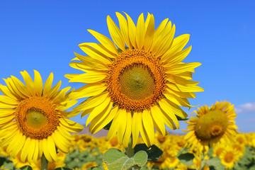 Photo sur Aluminium Tournesol Beautiful sunflower blooming in the field.