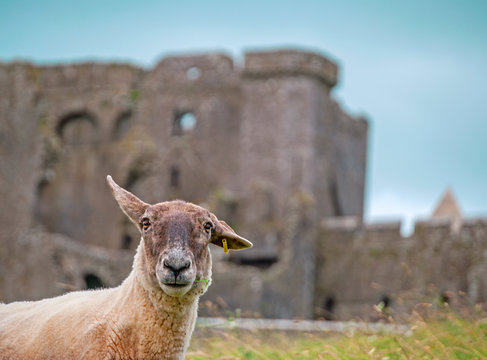 Sheep with the Rock of Cashel in the background, Near to Cashel in Ireland