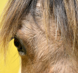 Close up of an horse head with long horse hair and the eye of the animal