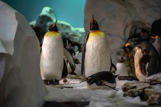 Emperor penguins in Antarctica area 13
