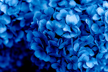 Spoed Fotobehang Hydrangea Beautiful Blue Hydrangea Flowers in the Garden on Sunny Summer Day