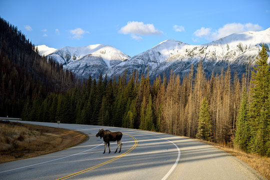 Moose bull (Alces alces) crossing the road in Kootenay National Park, British Columbia