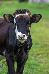 Fotobehang Koe cow in field