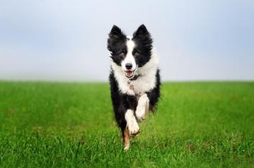 border collie dog lovely portrait fun walk on green field Wall mural