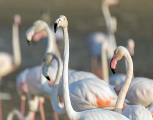 Foto auf Leinwand Flamingo Caribbean pink flamingo at Ras al Khor Wildlife Sanctuary, a wetland reserve in Dubai, United Arab Emirates