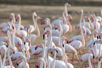 Photo sur Plexiglas Flamingo Caribbean pink flamingo at Ras al Khor Wildlife Sanctuary, a wetland reserve in Dubai, United Arab Emirates