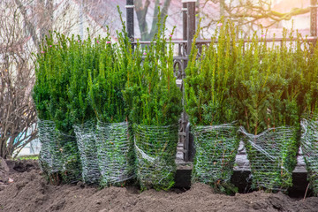 Row of coniferous spruce trees seedlings planted in the autumn in a city park.