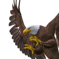 Fototapete - bald eagle hunting on white background side view close up