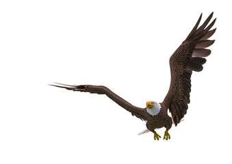 Fototapete - bald eagle hunting on white background with space copy
