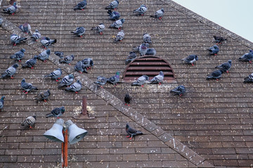 Pigeons Roosting on Roof with Brown Shingles