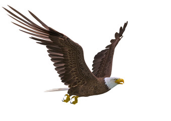 Fototapete - bald eagle hunting on white background