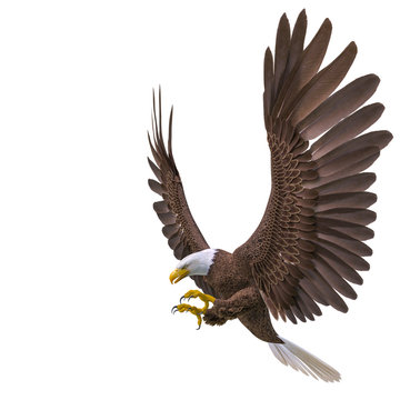 bald eagle hunting on white background side view