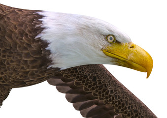 Fototapete - bald eagle looking down on white background close up