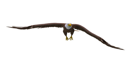 Fototapete - bald eagle on white background