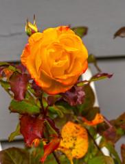 Orange Pinata Climbing Rose Blooming Fall Leaves Macro Washington