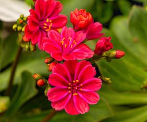 Bright Pink Orange Lewisia Flowers Blooming Macro
