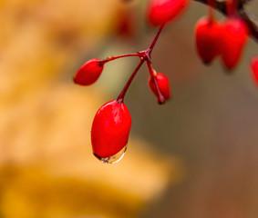 Red Berries Rain Brown Background Macro Washington