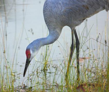Sandhill crane in front of a lake. Melbourne, Florida.