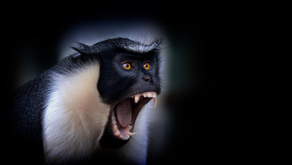 Diana monkey, Cercopithecus diana, a dark backround, scream, crescent-shaped browband, ruff and beard. Wildlife animals. Portrait