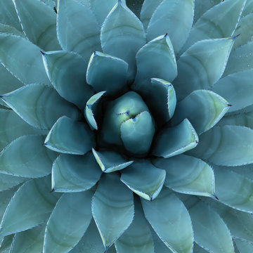 Blue Agave Plant Used in Making Tequila