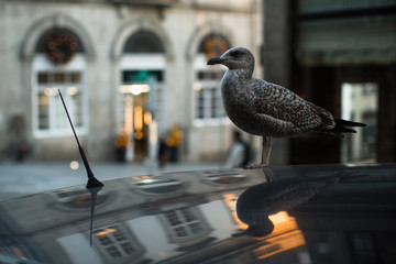 Seagull sits on the roof of a car against the backdrop of old city.