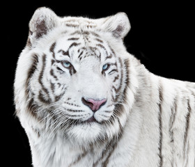 Wall Mural - Magnificent white tiger looking forth