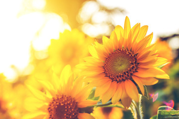 Blooming sunflowers in the summer field and light sunset and color warm.