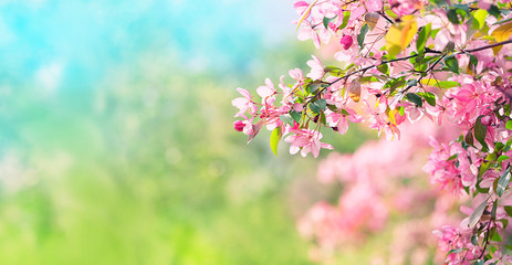 Pink plum flowers in spring garden. Spring blooming cherry flowers branch on natural abstract background. Atmosphere gentle Spring image. banner. copy space. template for design Fototapete